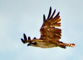 Mother Osprey heading out on a hunt by drewii57