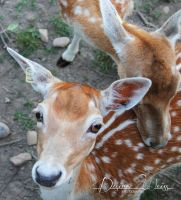 Bambi by DYWPhotography