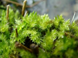 Bryophyte and Waterdrops by BeatrixW