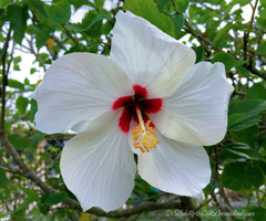 Hibiscus (white) by Sillybilly60