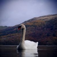 Swan Lake by nectar666
