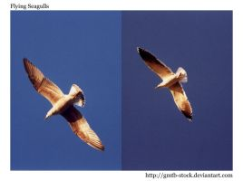 Seagulls in flight by gmtb-stock