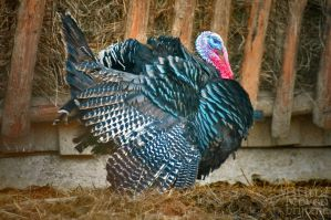 Lucky Turkey by brijome