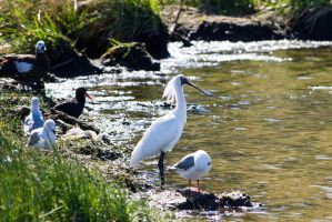Royal Spoonbill by ARC-Photographic