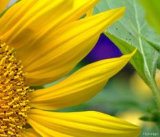 Tournesol et Violet I by hyneige