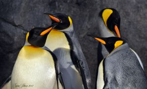 King Penguins by AlaskaGrl