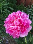 Pink Peony by snoogaloo