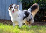 Merlin the Aussie by squishy-paws