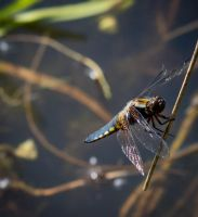 Broad-bodied Chaser by AngelsOdyssey