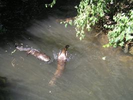 River Otters by thebubman