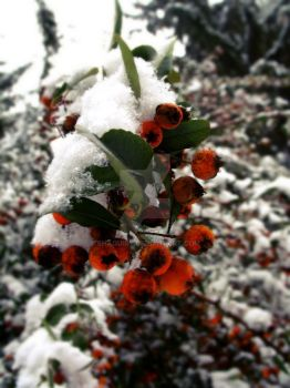 Winter berries 1. by Shaquiry