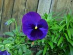 Neighbor's Pansy by ZIM402