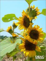 Sunflower Heat by DisappearinEbony