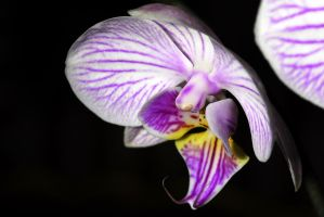 Orchidae 2 by Austinii