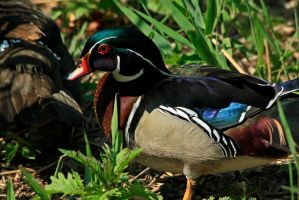 American Wood Duck by Tinap