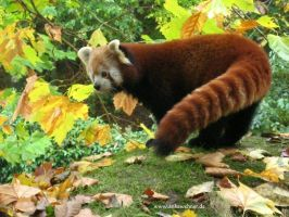 Red Panda Posing by ankewehner