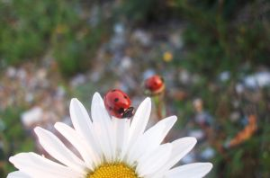 Twins on a Daisy by evalunaofficial