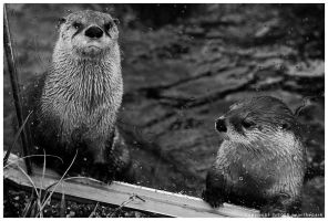Pair of Otters by nearthepark