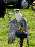 Also a Lanner at Gt. Harwood by Just-Raowolf