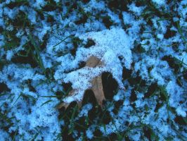 Snow on a Fallen Oak Leaf by crotafang