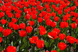 Red Tulips by DanielleMiner