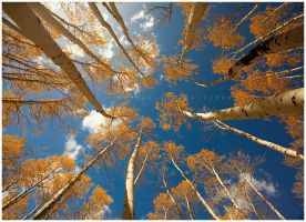 Tall Aspens by michael-dalberti