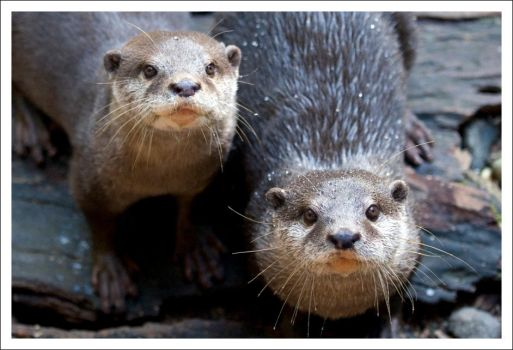 Otters - 706 by eight-eight