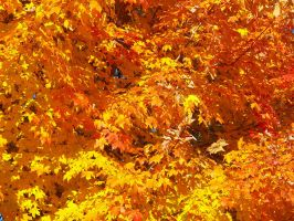 The Fire Maple by HimeGabi