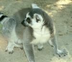Ring-Tailed Lemur 2 by Lcutter