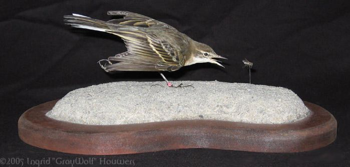 Taxidermy - Yellow wagtail by Illahie