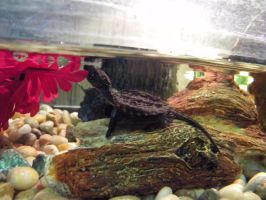 Baby Snapping Turtle 4 by ReptileMan27
