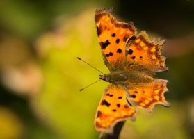 Comma... A bit late in the season by clochartist-photo