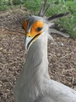 Secretary bird 08 by animalphotos