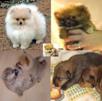 Pomeranian Puppies Wallpaper by yugiismyname