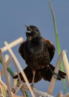 Red-Winged Blackbird - Singin away by JestePhotography