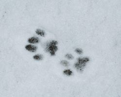 Cat prints in snow by Quinnphotostock
