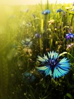cornflower by Chihire