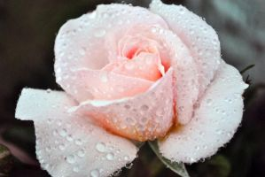 Watered pink rose blossom by fosspathei