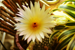 Sunbeam Cactus Flower by FranticMezmer