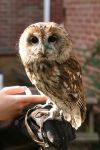 Ollie the Tawny Owl by RaeyenIrael-Stock