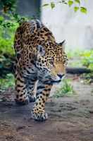 Jaguar by roarbinson