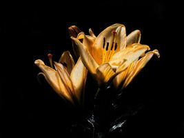 lilly 1 by awjay