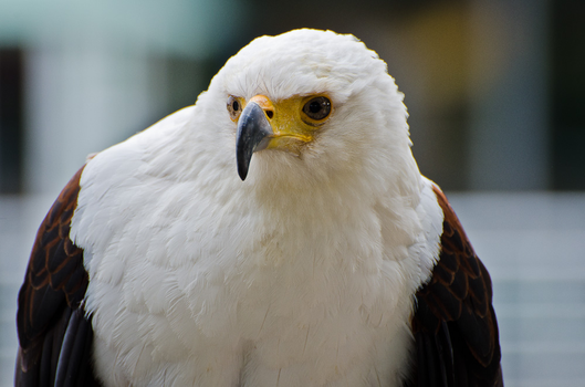 Large Eagle by shiosVIP
