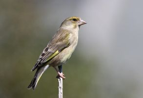 Grumpy Greenfinch by Jamie-MacArthur