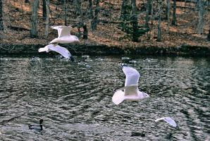Gulls and Ducks by znkf0908