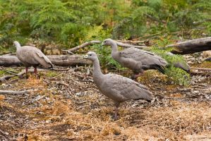Cape Barren Geese by duncan-blues