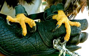 Eagle Talons by Kippenwolf