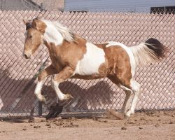 HORSE STOCK - TWH Colt 005 by kittykitty5150