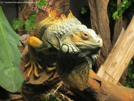 Iguana 2 Detail by ReptilianPhotography