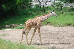 Giraffe 3 by devins-stock
